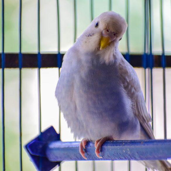 Fugl sidder på stang i et bur